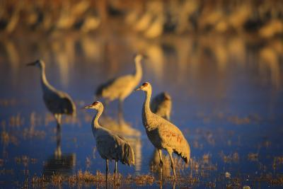 The Sandhill Cranes Of Bosque Del Apache National Wildlife Refuge In New Mexico At Sunset-Jay Goodrich-Photographic Print