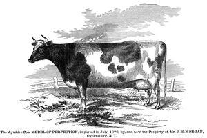 Cow Portrait 2 by The Saturday Evening Post