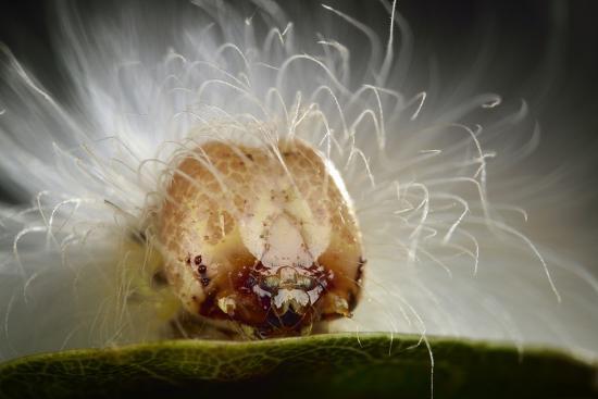 The Scarce Merveille Du Jour (Moma Alpium) Caterpillar with Urticating Hairs-Solvin Zankl-Photographic Print