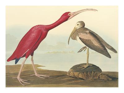 The Scarlet Ibis-John James Audubon-Premium Giclee Print