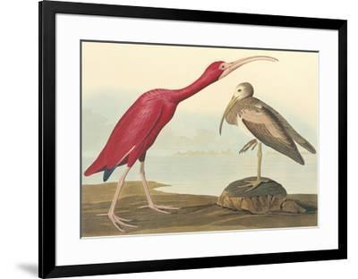 The Scarlet Ibis-John James Audubon-Framed Premium Giclee Print