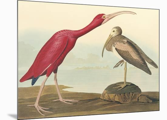 The Scarlet Ibis-John James Audubon-Mounted Premium Giclee Print