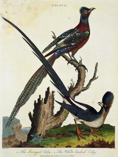 The Senegal Coly and the White Backed Coly--Giclee Print