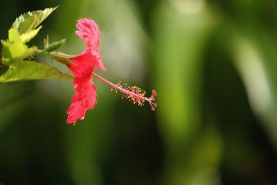 The Seychelles, La Digue, Hibiscus, Red Blossom-Catharina Lux-Photographic Print