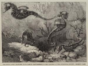 The Short-Nosed Seahorse (Hippocampus Brevirostris) in the Gardens of the Zoological Society