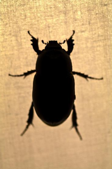 The Silhouette of a Beetle Resting on the Canvas of a Tent in the Amazon Rainforest at Night-Jason Edwards-Photographic Print