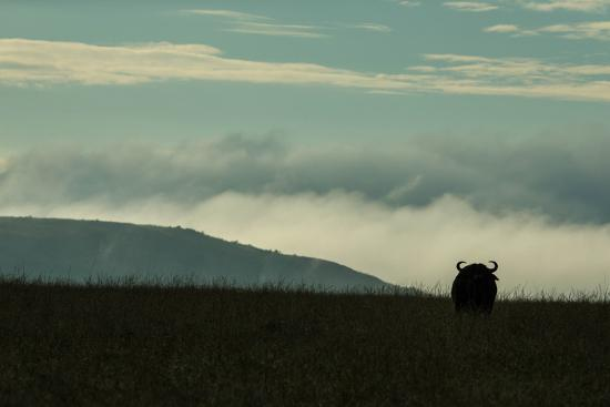The Silhouette Of An African Buffalo Standing In Kenya's Masai Mara National Reserve-Beverly Joubert-Photographic Print
