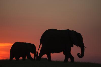 The Silhouette of an African Elephant with its Calf Walking at Sunset-Beverly Joubert-Photographic Print