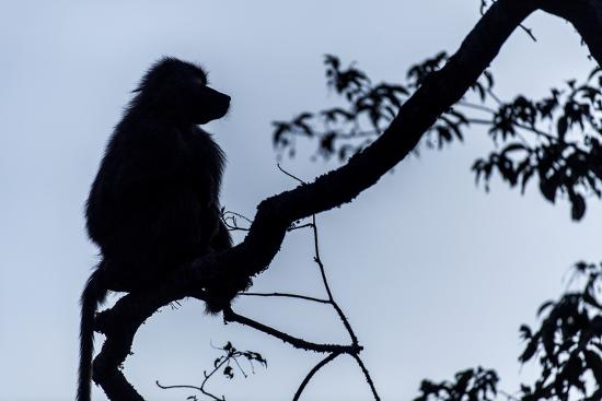 The Silhouette of an Olive Baboon Sitting on the End of a Branch in a Tree before Dawn-Jason Edwards-Photographic Print