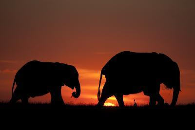 The Silhouette of Two African Elephants Grazing Against Dramatic Sky During Sunset-Beverly Joubert-Photographic Print