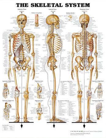 Anatomy charts for sale
