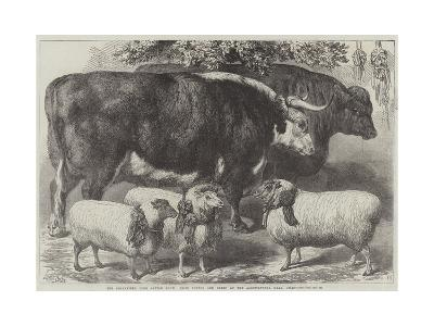 The Smithfield Club Cattle Show, Prize Cattle and Sheep at the Agricultural Hall, Islington-Samuel John Carter-Giclee Print