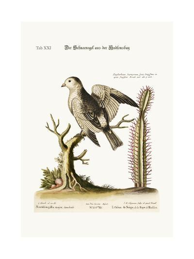 The Snow-Bird from Hudson's Bay, 1749-73-George Edwards-Giclee Print