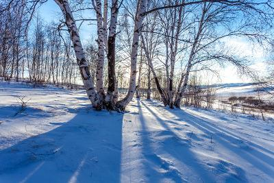 The Snow Covered Birch Forest-06photo-Photographic Print