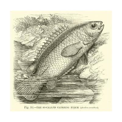 The So-Called Climbing Perch, Anabas Scandens--Giclee Print