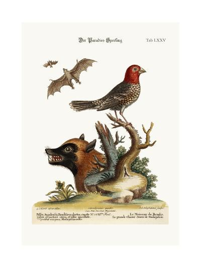 The Sparrow of Paradise. the Great Bat from Madagascar, 1749-73-George Edwards-Giclee Print