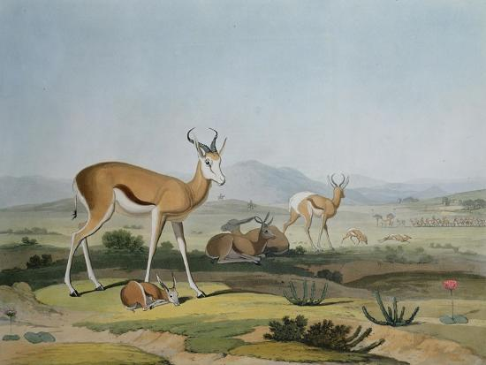 The Spring-Bok or Leaping Antelope, Plate 18 from 'African Scenery and Animals', Engraved by the…-Samuel Daniell-Giclee Print