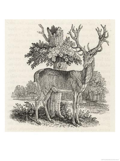 The Stag or Red-Deer (Cervus Elephas) This is the Most Beautiful Animal of the Deer Kind-Thomas Bewick-Giclee Print