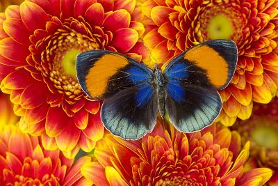 The Star Sapphire Butterfly, Callithea Sapphira-Darrell Gulin-Photographic Print