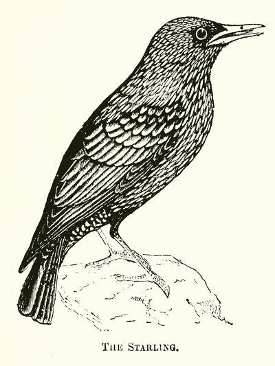 The Starling--Giclee Print