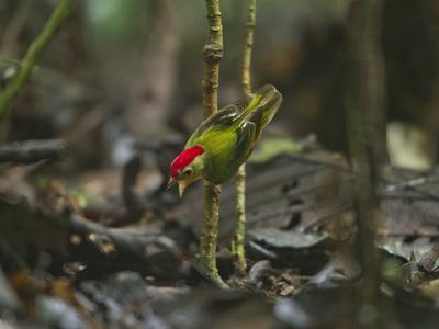 The Striped Manakin Makes a Simple Buzzing Sound with its Wings-Tim Laman-Photographic Print
