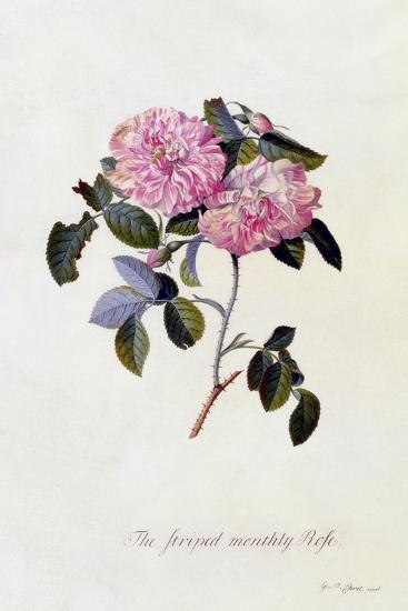The Striped Monthly Rose, C.1745-Georg Dionysius Ehret-Giclee Print
