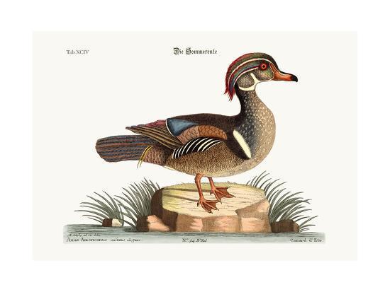 The Summer Duck, 1749-73-Mark Catesby-Giclee Print