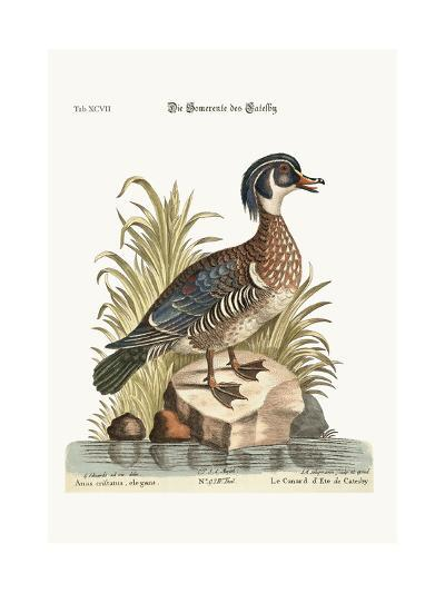 The Summer Duck of Catesby, 1749-73-George Edwards-Giclee Print