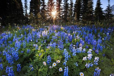 The Sun Breaks Through Trees To Backlight A Meadow Of Wildflowers In Mount Rainier NP, Washington-Jay Goodrich-Photographic Print