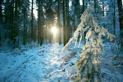 The Sun Finding a Small Opening in the Snowy Forest of Koenigstuhl-Andreas Brandl-Photographic Print
