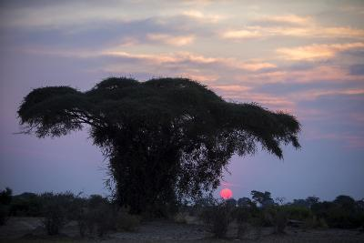 The Sun Sets Behind a Large Silhouetted Tree-Beverly Joubert-Photographic Print
