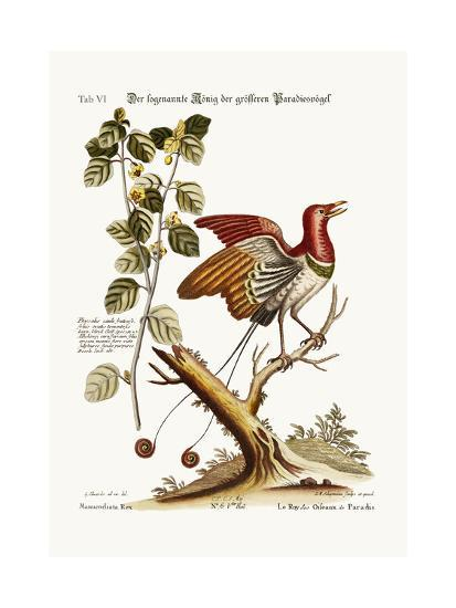 The Supposed King of the Greater Birds of Paradise, 1749-73-George Edwards-Giclee Print