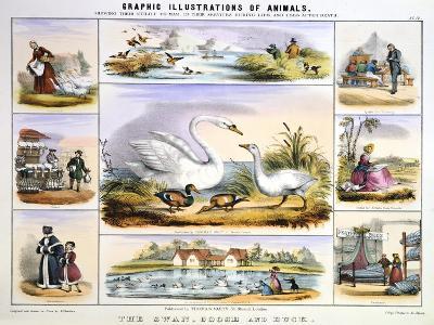 The Swan, Goose and Duck, C1850-Benjamin Waterhouse Hawkins-Giclee Print