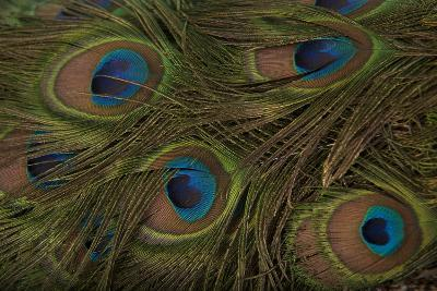 The Tail Feathers of an Indian Peafowl, Pavo Cristatus, at the Lincoln Children's Zoo-Joel Sartore-Photographic Print