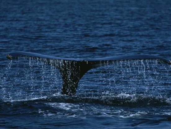 The Tail Flukes of a Humpback Whale-Tim Laman-Photographic Print