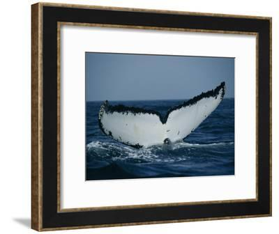 The Tail of a Humpback Whale Slides into the Water--Framed Photographic Print