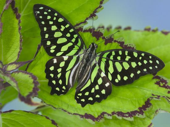 The Tailed Jay Butterfly on Flowers-Darrell Gulin-Photographic Print