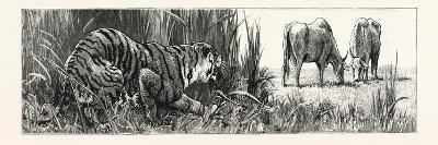 The Tiger Selects a Cow--Giclee Print