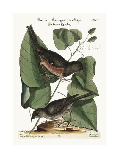 The Towhe Bird. the Cowpen Bird, 1749-73-Mark Catesby-Giclee Print
