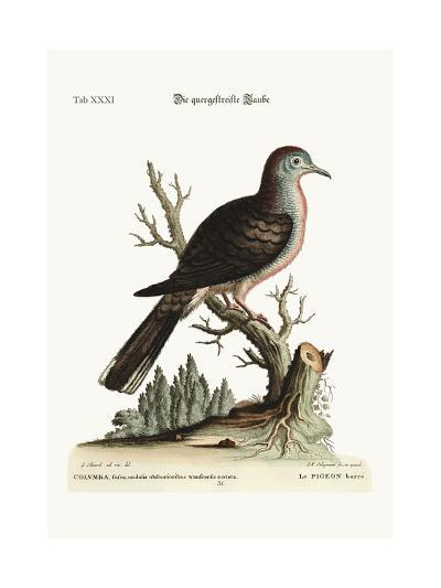The Transverse Stripe or Bared Dove, 1749-73-George Edwards-Giclee Print