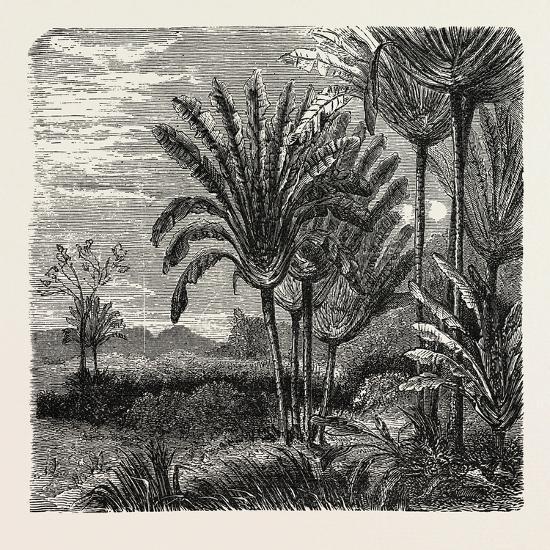 The Travellers Tree (Urania Speciosa)--Giclee Print