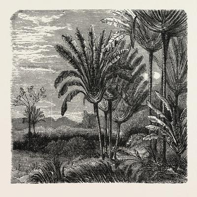 https://imgc.artprintimages.com/img/print/the-travellers-tree-urania-speciosa_u-l-pvh7zo0.jpg?p=0