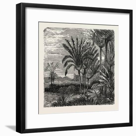 The Travellers Tree (Urania Speciosa)--Framed Giclee Print
