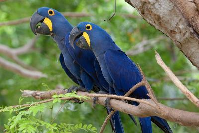 The Two Hyacinth Macaw-Howard Ruby-Photographic Print
