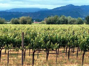 The Vineyards of Beaulieu Vineyards