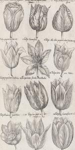 Tulip Cultivars by The Vintage Collection