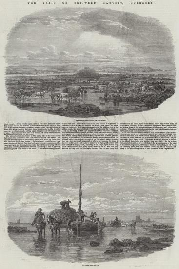 The Vraic or Sea-Weed Harvest, Guernsey--Giclee Print