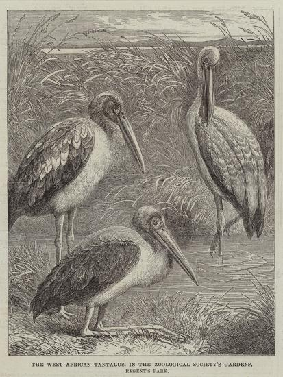The West African Tantalus, in the Zoological Society's Gardens, Regent's Park--Giclee Print