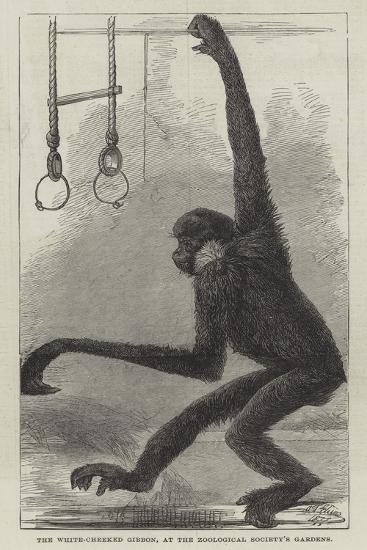 The White-Cheeked Gibbon, at the Zoological Society's Gardens--Giclee Print