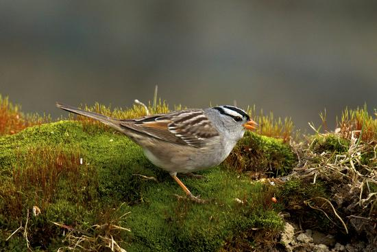 The White-Crowned Sparrow, Native to North America-Richard Wright-Photographic Print